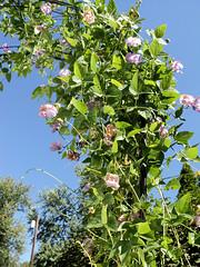 Sweet Pea Ear on trellis (melt2sk8) Tags: floweringvine sweetpeaflower sweetpeavine