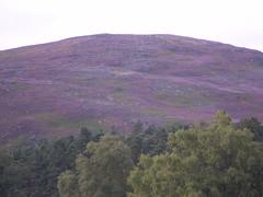 Bonnie purple heather. (oorwullie7) Tags: scotland purple angus heather hill invermark dalhousieestate