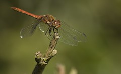 Red Dragonfly on a little branch (christianvt) Tags: red dragonfly christian van tilborg