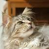 Sweet Floris (Cajaflez) Tags: portrait pet cute cat kat chat sweet longhair mainecoon katze portret gatto gatti kater floris lief cc400 cc300 cc200 cc100 cc500 bestofcats kissablkat natureselegantshots catmoments saariysqualitypictures