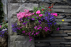 Cumbrian Colour (<p&p>photo) Tags: uk pink flowers red summer england canon eos grey purple display lakedistrict cumbria slate dslr windermere 2010 canoneosdslr