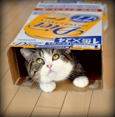 maru in a box cute scottish fold cat pic