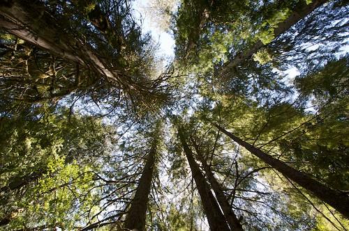 Grove of the Patriarchs -- Mt. Rainier