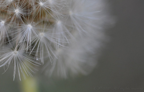 Dandelion - Detail