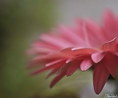 SOFT - BOKEH - FLOR (Fardels.) Tags: leica macro soft dof bokeh flor rosa 45mm elmarit m43 gf1 mywinners fardels mimamorflowers