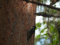 Three Toed Woodpecker (David R. Crowe) Tags: plant canada tree nature birds animal dead woodpecker bc okanagan places northamerica kelowna attributes piciformes