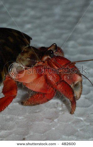 stock-photo-red-land-hermit-crab-from-the-south-coast-of-java-island-indonesia-coenobita-rugosa-482600