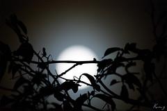 Illuminating The Sky At Night... (K U M Z) Tags: moon chennai bluemoon eos450d digitalrebelxsi efs55250mmf456is