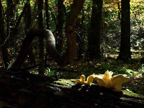 chicken mushroom with mountain laurel