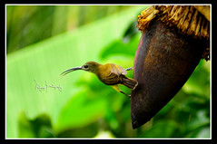 Olive-backed Sunbird - Female (Ringgo Gomez) Tags: 1001nights soe pictureperfect 80200mm greatphotographers kfk nikkor80200mm flickrsbest topseven kenkopro300 worldbest platinumphoto anawesomeshot flickraward concordians elitephotography perfectphotographers sarawakborneo worldwidenature nikonflickraward nikond90club nikodd90 niknod90 1001nightsmagiccity flickraward5