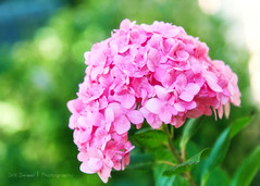 Pink Dreaminess (Becky Stillions Photography) Tags: pink flower nature floral canon outdoors dof bokeh 5d dreamy markii excellentsflowers awesomeblossoms beyondbokeh fleursetpaysages stillsweetphotography