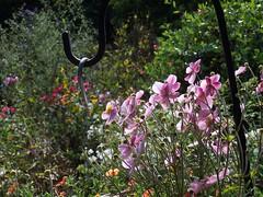 100_1344 (ForestPath) Tags: flowers garden backlighting japaneseanemone