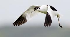 Avocet Flight (Andrew Haynes Wildlife Images) Tags: bird nature wildlife norfolk nwt avocet cleymarsh canon7d ajh2008