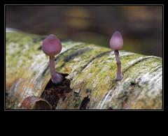 Purple lantern (a.stokman) Tags: mushroom fungi lantern paddenstoel pilze paddestoel paars lantaarn pulpe nikkor105mmf28gvrmicro arjostokman