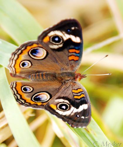 Buckeye Butterfly II