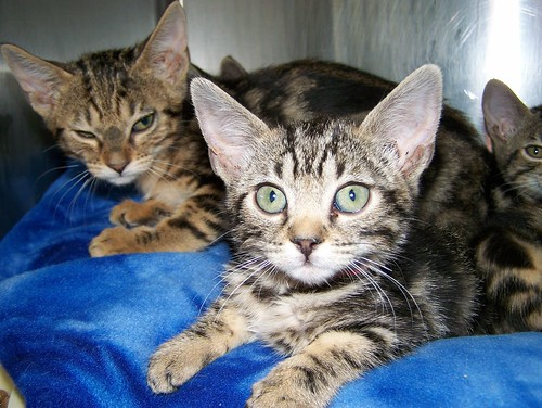 bengal kittens_1947 by Rocky Mountain Feline Rescue, on Flickr