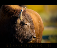 Large and In Charge (Wil_Bloodworth) Tags: animal mammal buffalo bravo wildlife horns wyoming grandtetons bison jacksonhole grandtetonnationalpark americanbuffalo kellywyoming dcptsept2010
