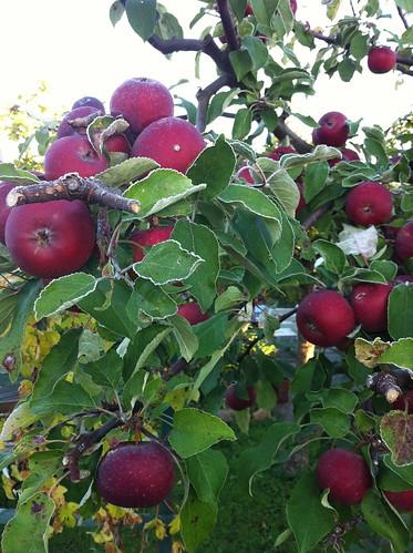 Riktigt röda äpplen