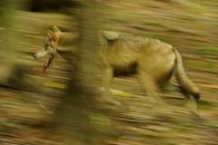 Gray Wolf (Tyler Evert) Tags: wildlife wv westvirginia graywolf frenchcreek