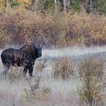 Bull Moose thumbnail