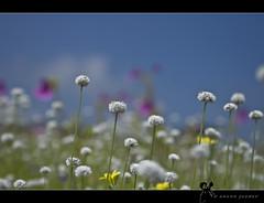 Flowers @ Kaas
