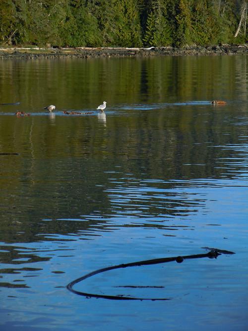 seagulls and kelp, Kasaan, Alaska