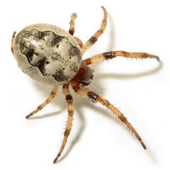 Furrow Orbweaver (zxgirl) Tags: bug bugs animalia spider spiders arthropod arthropods arthropoda arachnid arachnids arachnida araneae araneomorphae entelegynes orbweavers araneidae furrowspiders larinioides furroworbweaver larinioidescornutus s5 flash raynox dcr250 img9279 greatfalls md maryland onwhite taxonomy:binomial=larinioidescornutus eol