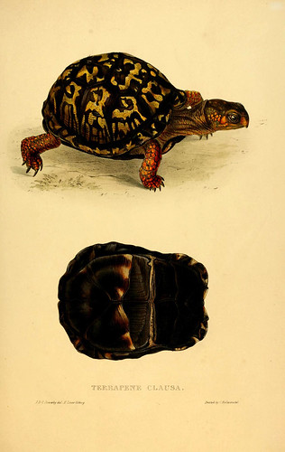 018-Terrapene Clausa-Tortoises terrapins and turtles..1872-James Sowerby