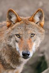 [フリー画像] 動物, 哺乳類, イヌ科, 狼・オオカミ, 201010071700