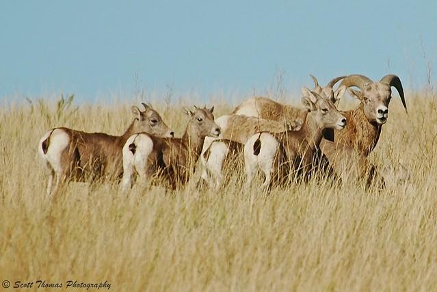 travel nature mammal nikon d70 wildlife northdakota badlands ram grassland herd vr bighornsheep medora 80400mm ewe theodorerooseveltnationalpark oviscanadensis northsection yourphototips