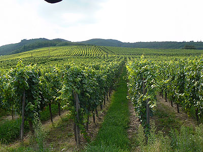 dans les vignes de Dambach.jpg