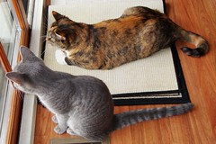Millie & Gracie 4 October 2010 2792b 4x6 (edgarandron - Busy!) Tags: cats cute cat kitten gracie tabby kitty kittens kitties tabbies millie graytabby patchedtabby
