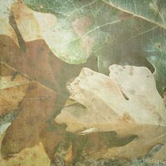Transitions (Carrie McGann) Tags: sunlight green texture leaves sunshine square gold interesting oak tan oaktree oakleaves alienfashionshow1998