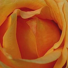 (smoothna) Tags: flowers roses macro nature petals e510 smoothna