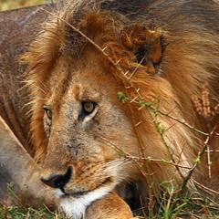 Lion Portrait (lens buddy) Tags: africa portrait holiday male canon king kenya lion safari telephoto dominance masaimara eosdigital africanplains lionface somak lionportrait africangrasslands flickrbigcats bigjourneyco