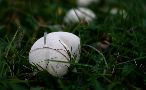 Puffball mushrooms on the farm!