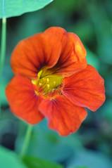 Orange Nasturtium (Gabludlow) Tags: red orange flower macro tropaeolum orangenasturtium