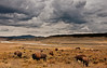 Home on the Range (sandy_gennrich) Tags: travel usa storm nature animals clouds landscape natural wildlife yellowstone prairie nationalparks bison grazing wy haydenvalley bisonbison wwwsandygennrichcom americanbision
