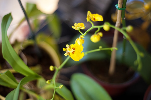 little yellow orchid
