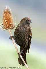 Red-winged Blackbird, juvenile (Garebear400) Tags: wild bird nikon wildlife nwr redwingedblackbird d300 ridgefield wildbird nbw specanimal fantasticnature platinumphoto goldwildlife mothernaturesgreenearth