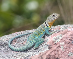 More Collared Lizard