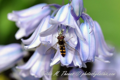 Hover fly and bluebell