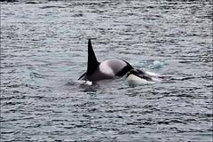 Two orcas swimming close together in a large pod of killer whales. (runintherain) Tags: ocean usa water animals alaska ak whales seward kenaifjords marinelife kenaifjordsnationalpark canonxsi canon450dxsi runintherain