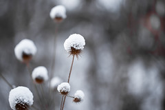Snow Topping (Rutger Blom) Tags: winter white snow plant lund cold nature closeup europe sweden bokeh covered sverige scandinavia zweden canoneos5dmarkii ef100mmf28lmacroisusm