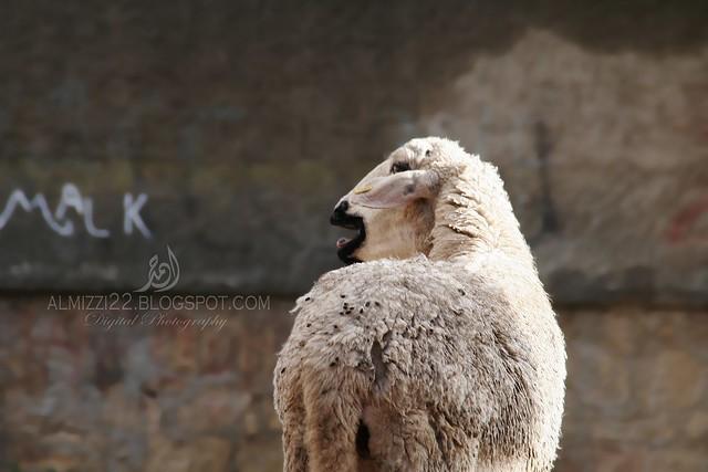 Goat 5 Mark
