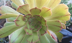 Aeonium arboreum var.holochrysum H.Y.Liu, nom.nov. pag.67  Systematics of Aeonium (Crassulaceae), 1989 (bramwellii) Tags: lapalma aeonium bejeque holochrysum
