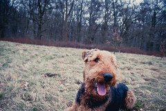 Please wait a moment 2 (Sebastian-Ziegler) Tags: dog pet pets dogs animal animals tiere nikon terrier hund sp 28 af tamron ped hunde airedale tier peds airedaleterrier 2875mm d700