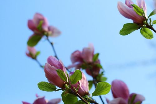 magnoliaD