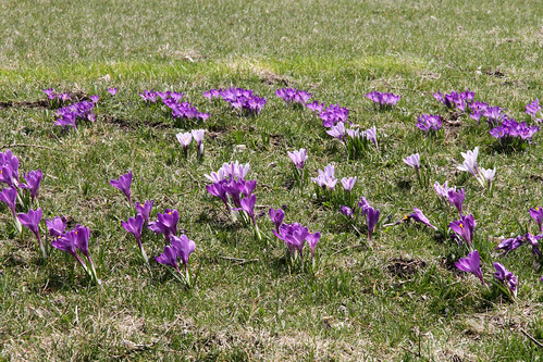 crocus_east