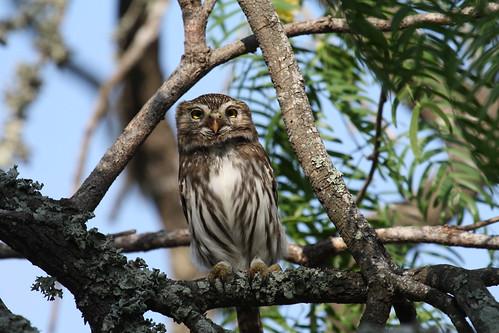 ferruginous pygmy owl by ricmcarthur